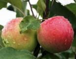 "Яблоня плодовая четырехлетка ""Мантет"""