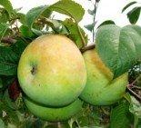 """Яблоня плодовая трехлетка """"Мартовское"""""""