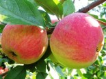 "Яблоня плодовая четырехлетка ""Мельба"""