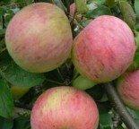 """Яблоня плодовая трехлетка """"Орлинка"""""""