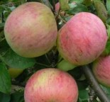 """Яблоня плодовая четырехлетка """"Орлинка"""" с30"""