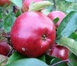 Яблоня плодовая четырехлетка