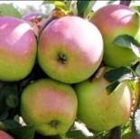 Яблоня плодовая 6-7 лет сорта
