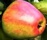 """Яблоня плодовая трехлетка """"Скороплодное"""""""