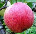 """Яблоня плодовая четырехлетка """"Славянин"""""""