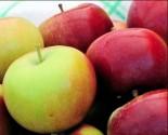 "Яблоня плодовая двухлетка ""Спартан"""