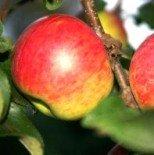 "Яблоня плодовая трехлетка ""Уэлси"""
