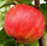 "Яблоня плодовая двухлетка ""Услада"""