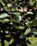 Арония (Рябина черноплодная)