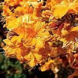 Азалия листопадная желтая