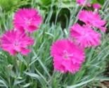 Гвоздика травянка  Альтроза