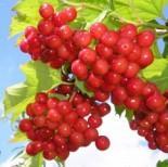Калина плодовая