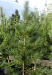 Кедр сибирский 1.4-1.5 м