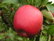 Яблоня плодовая «Коваленковское