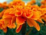 Бархатцы (тагетис) пестрые и оранжевые