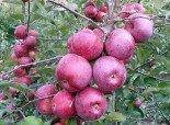 """Яблоня плодовая четырехлетка """"Подарок Графскому"""""""