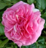 "Роза флорибунда ""Баронесса"""