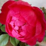"""Роза флорибунда """"Помпонелла"""""""