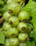 """Смородина зеленоплодная трехлетка """"Изумрудное ожерелье"""" с5"""