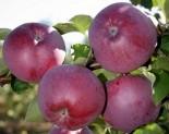 "Яблоня плодовая трехлетка ""Спартан"""