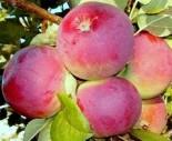 """Яблоня плодовая трехлетка """"Орлик"""""""