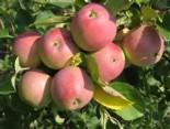 """Яблоня плодовая трехлетка """"Вишневое"""""""