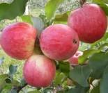 """Яблоня плодовая трехлетка """"Мечта"""""""