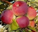"""Яблоня плодовая двухлетка """"Орлик"""""""