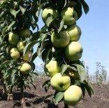 """Яблоня плодовая колоновидная двухлетка """"Президент"""""""
