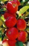 Яблоня плодовая колоновидная