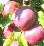 """Яблоня плодовая колоновидная двухлетка  """"Рубиновое ожерелье"""""""