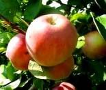 """Яблоня плодовая двухлетка """"Конфетное"""""""