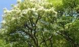 Ясень цветочный