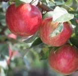 """Яблоня  трехлетка """"Пепин шафранный"""" 1.1-1.4 м с7.5"""
